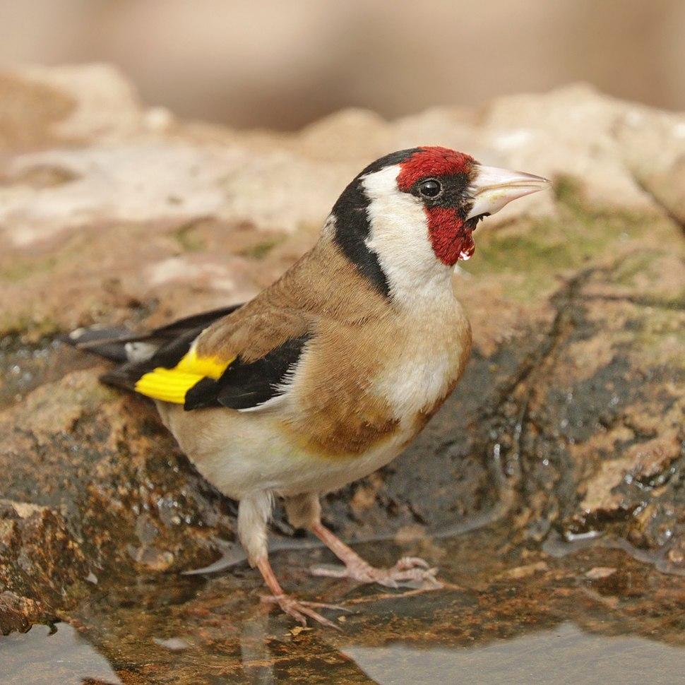 European goldfinch (Carduelis carduelis parva)