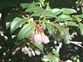 Evergreen huckleberry flowers.jpg