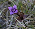 Fältgentiana - Gentiana campestris - Flickr - Ragnhild & Neil Crawford.jpg