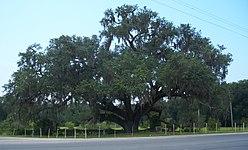 FL Volusia Oak03.jpg