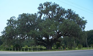 Quercus virginiana - The Volusia Oak on the St. Johns River in Volusia, Florida.