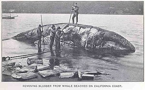 Rendering (animal products) - Rendering a beached whale in California