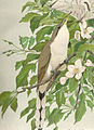 FMIB 41895 Yellow-Billed Cuckoo (Coccyzus).jpeg