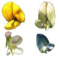 Fabaceae Blüten bunt Medicago-falcata x sativa.png