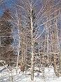Fagus grandifolia CT1.jpg