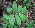 False Solomon's Seal (Maianthemum racemosum) - Kitchener, Ontario.jpg