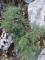 Familija Apiaceae 02.jpg