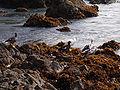 Family of Kelp Geese.jpg
