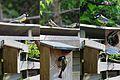Feeding of the little birds (Great tit, NL= Koolmees) in the backgarden at Schellingwoude - panoramio.jpg