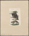 Felis catus - 1834 - Print - Iconographia Zoologica - Special Collections University of Amsterdam - UBA01 IZ22100304.tif