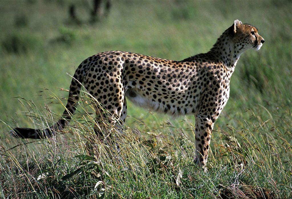 """Female Cheetah (Acynonyx jubatus) (8292038736)"" by Bernard DUPONT from FRANCE - Female Cheetah (Acynonyx jubatus). Licensed under CC BY-SA 2.0 via Wikimedia Commons - https://commons.wikimedia.org/wiki/File:Female_Cheetah_(Acynonyx_jubatus)_(8292038736).jpg#/media/File:Female_Cheetah_(Acynonyx_jubatus)_(8292038736).jpg"