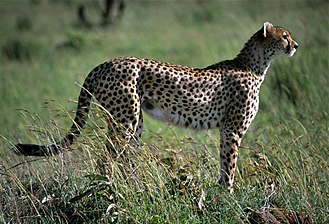 Cheetah - Female