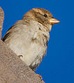 Female House Sparrow (passer domesticus) (8076168710).jpg