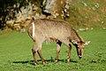 Female Kobus ellipsiprymnus at Cabacerno.jpg