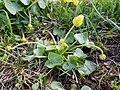 Ficaria calthifolia sl17.jpg