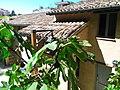 Fichi a Villa Ficana, Macerata, Italia.jpg