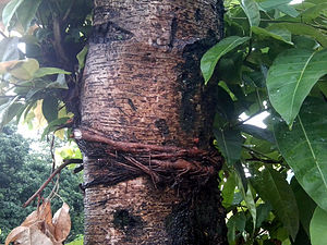 Ficus lacor - Ficus lacor in Nepal