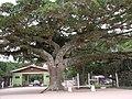 Figueira camping municipal de pelotas - panoramio.jpg