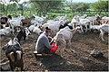 Figure-10-Woman-milking-a-goat-flock.jpg
