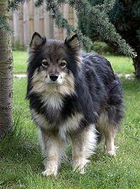 Finselappenhond louhi-no watermark.jpg