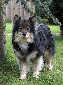 Finsk lapphund – Wikipedia