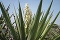 Fiore di Yucca.JPG