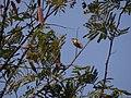 Fire-breasted Flowerpecker - Dicaeum ignipectus - DSC04970.jpg
