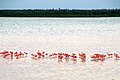 Flamingos near Isla Morena (5307777500).jpg