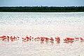 Flamingos near Isla Morena (5307777500).jpg