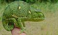 Flap-neck Chameleon (Chamaeleo dilepis) (5984076557).jpg