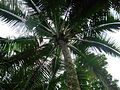 Flickr - brewbooks - Coconut Palm.jpg