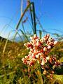 Flora di Gunung Prau.jpg