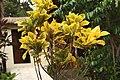 Flora of Sihanoukville 04.jpg