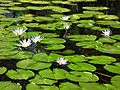 Flores da água.jpg
