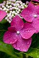 "Flower, Hydrangea ""Fazan"" - Flickr - nekonomania (2).jpg"