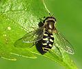 Flower Fly (8563275382).jpg