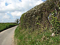 Flowering shrubs in hedge - geograph.org.uk - 759160.jpg