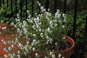 Thyme - Flowering thyme