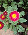Flowers - Uncategorised Garden plants 77.JPG