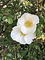 Flowers of Rosa multiflora 20190503.jpg