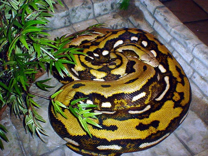 Fluffy the Reticulated Python