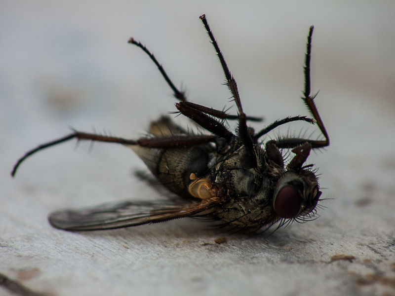 800px-Fly_dying.jpg