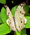 Forest Mother-of-pearl on flower.jpg