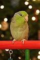 Forpus coelestis -pet on perch -female-8a.jpg