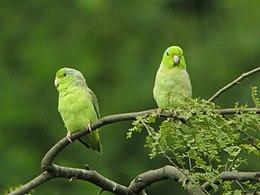 Forpus coelestis -two in Ecuador-8