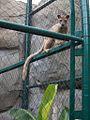 Fossa at Houston Zoo.jpg
