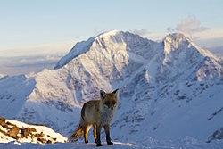 Fox (Cheghet).jpg