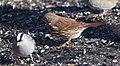 Fox Sparrow (24503044372).jpg
