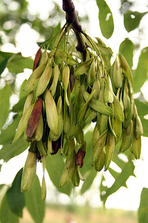 "Fraxinus excelsior -  Seeds of Fraxinus excelsior, popularly known as ""keys"" or ""helicopter seeds"", are a type of fruit known as a samara"