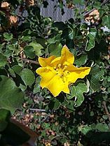 Fremontodendron californicum4.jpg